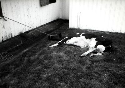 http://www.hennet.org/images/suffering/cow_downed1.jpg